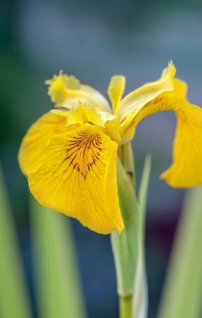 Yellow water iris flower on green background. Stock Photo
