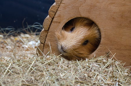 Portrait of cute red guinea pig in wooden house. Stock Photo