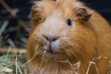 Portrait of cute red guinea pig. Close up photo. Stock Photo