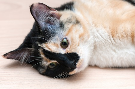grey eyed: Cute spotted cat lies on the floor.