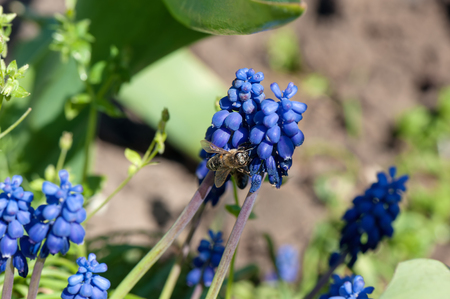 Honey bee collecting pollen from a small blue flowers.