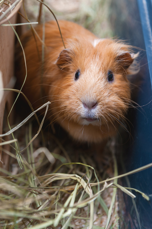 Portret of red guinea pig. Close up. Stock Photo