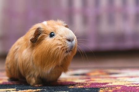 cavie: Portrait of red guinea pig. Close up.