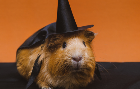 Portrait of cute red guinea pig in cute halloween costume. Stock Photo