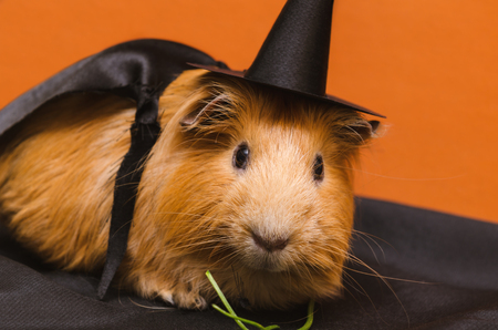 red clover: Portrait of cute red guinea pig in cute halloween costume. Stock Photo