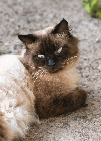 grey eyed: Cute cat with blue eyes. Close up photo. Stock Photo