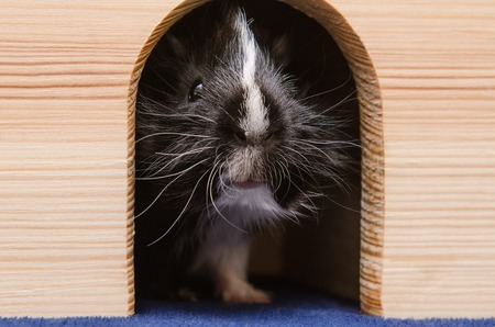 Little black and white guinea pig in wooden house.