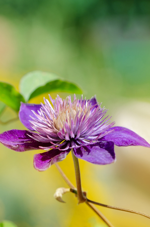 Purple clematis blooming in the garden. Close up.