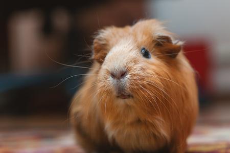 Portret of red guinea pig. Banco de Imagens