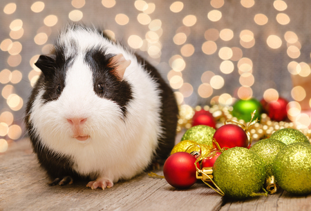 Little cute guinea pig in Christmas decoration
