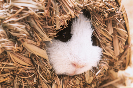 Little cute guinea pig sleep in hay house