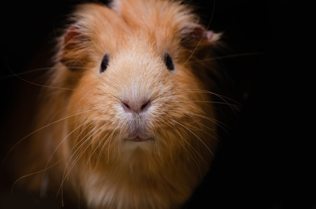 Portret of red guinea pig. Stock Photo