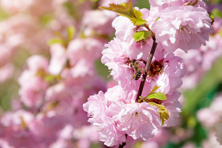 Honey bee collecting pollen from a pink blooming flower Reklamní fotografie