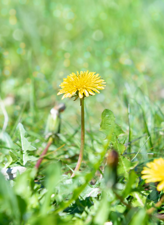 Green field with yellow dandelion. Closeup of yellow spring flower on the ground Reklamní fotografie