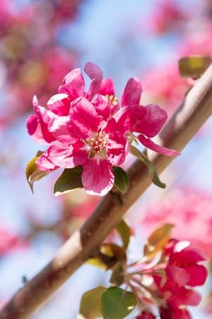 Apple tree blooming with pink flowers. Reklamní fotografie