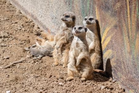 Beautiful meerkats in the zoo aviary