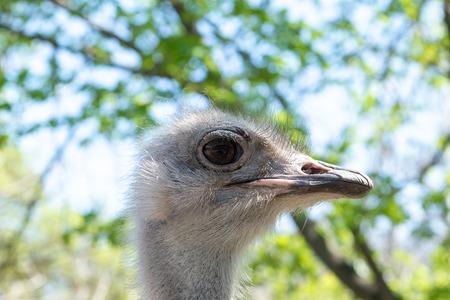 Ostrich bird head in the zoo, close up Reklamní fotografie