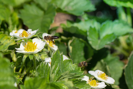 Honey bee collecting pollen from a pink blooming strawberry flower