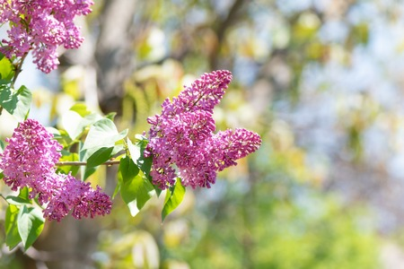 Blossoming purple lilacs in the spring garden.