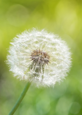 Dandelion flower with seeds ball on green field.