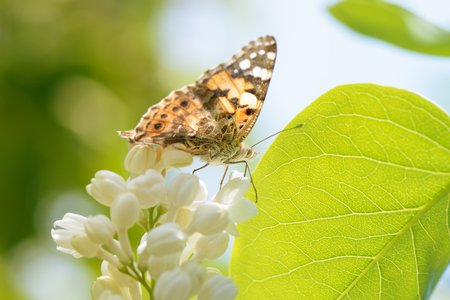 Closeup of butterfly on white lilac flower.