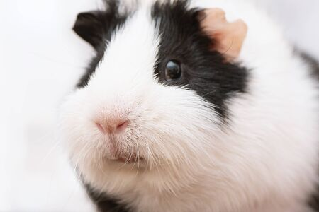 Black and white guinea pig close up Banque d'images