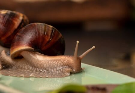 Big snail Achatina on a dark background Stock Photo