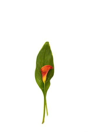 Red Calla lily with leaf isolated on white background.