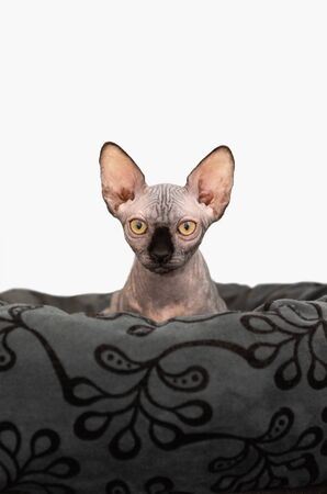 Portrait of cat sphinx without hair on white background Фото со стока