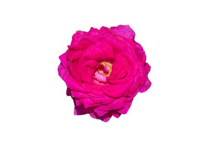 Pink rose flower isolated on white background.