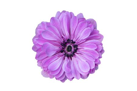 Big purple flower isolated on white background.