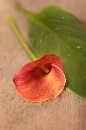Red Calla lily with leaf on wooden background. Фото со стока