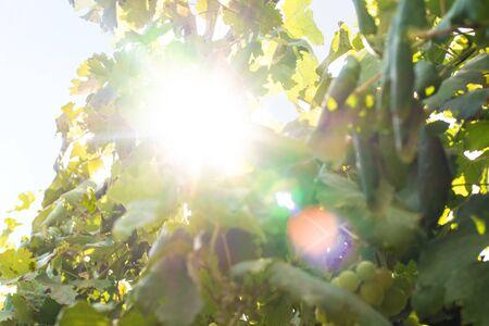 Bright sun shines in the vine bushes. Reklamní fotografie