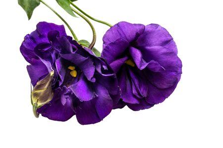 Purple Eustoma flower isolated on white background