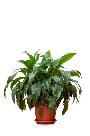 Spathiphyllum plant in front of white background.