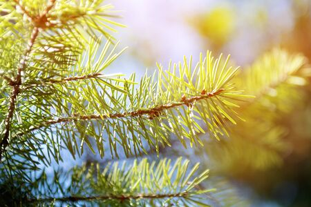 Branches of green fir tree, close up