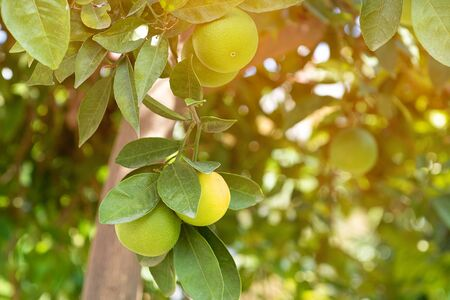 Green tangerines growing on a tree, close up