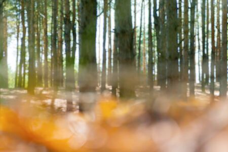Blurred forest background, defocused tall pines, sunny day.