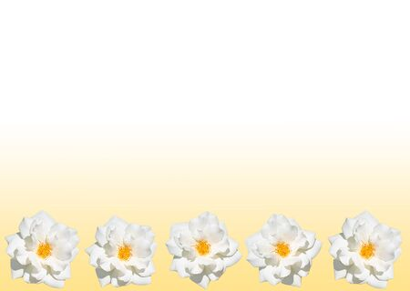 Frame of whire rose on background with yellow and white color