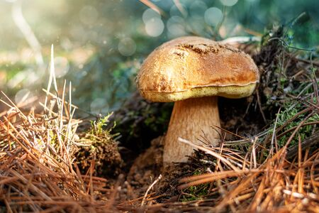 Boletus mushroom growing in the forest, close up
