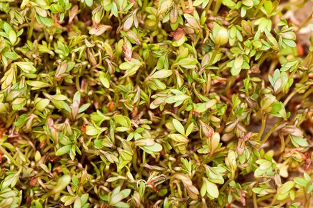 Closeup of sprouted grains cress salad grow on wet linen mat