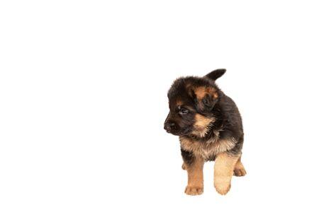 Cute German shepherd puppy on white background. Foto de archivo