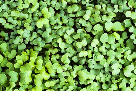Green fresh clover plant spring botanic background.