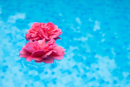 Two fresh pink rose flower floating in a blue clean water. Stock Photo