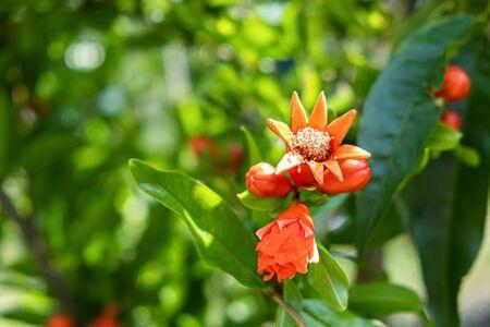 Red pomegranate flower bloom outdoor in a summer garden.