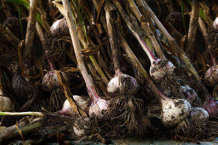 Pack of fresh garlic. Pack of raw garlic with soil.