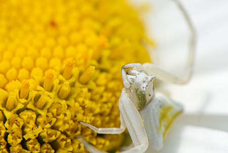 White spider sitting on a chamomile macro close up