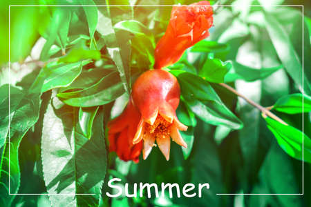 Red pomegranate flower bloom outdoor in a summer garden.