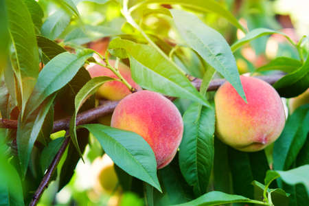 Ripe peaches on a branch in summer garden. Organic sweet peaches.