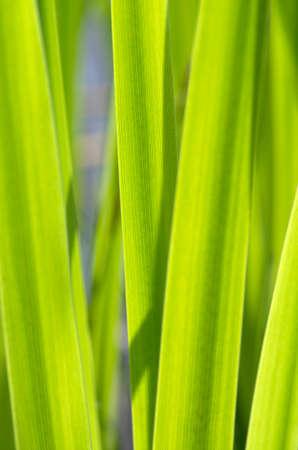 bulrush: Cane closeup. Green bulrush leaves macro as background.